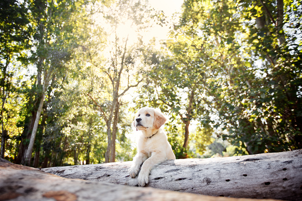 Portland Oregon Pet Photography Dog Puppy Outdoor water Best Pet Photographer lifestyle natural nature art artistic framed canvas album book animal color lab Labrador