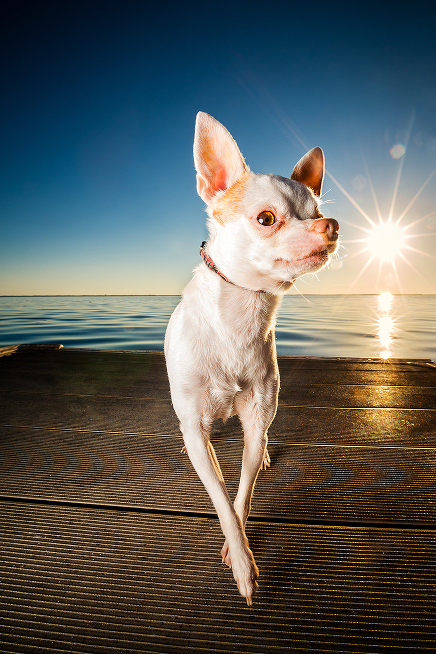 Portland Oregon Pet Photography Dog Puppy Outdoor water Best Pet Photographer lifestyle natural nature art artistic framed canvas album book animal color chihuahua