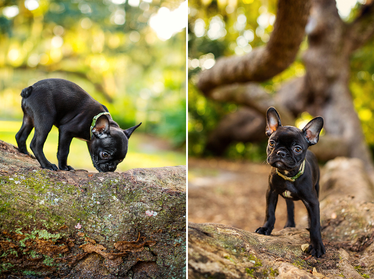 Portland Oregon Pet Photography Dog Puppy Outdoor water Best Pet Photographer lifestyle natural nature art artistic framed canvas album book animal color French Bull Dog
